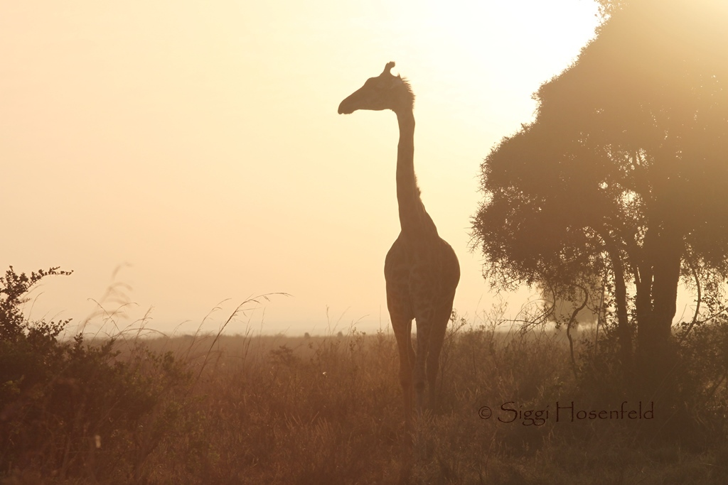 Giraffe in the morning light