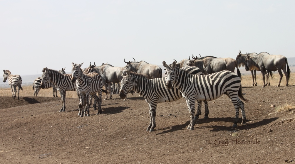 Zebras and wildebeest in Nairobi National Park