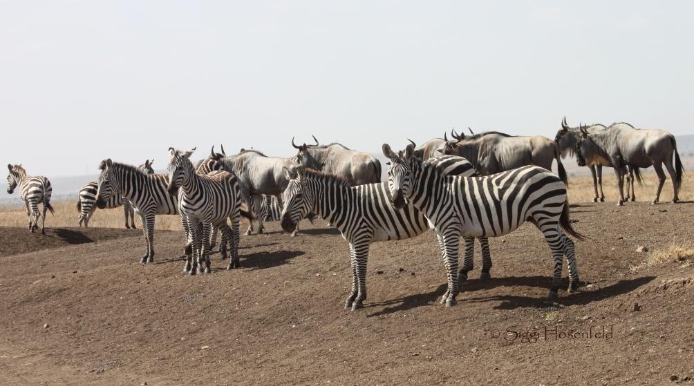 Zebras and wildebeest in Nairobi National Park