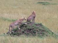 © Siggi Hosenfeld - Cheetah