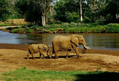 Kenya Animals  Elephants
