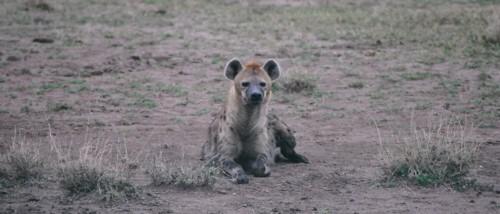 Spotted Hyena © Siggi Hosenfeld