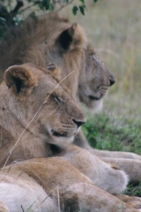 Kenya Animals Lions