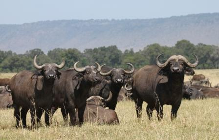 Buffalo in Maasai Mara