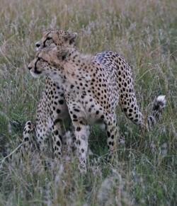 Cheetahs © Siggi Hosenfeld