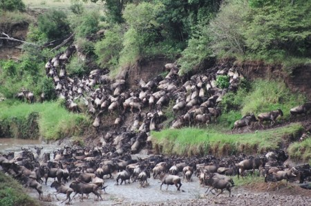 wildebeest river crossing