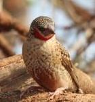 Cut Throat Finch