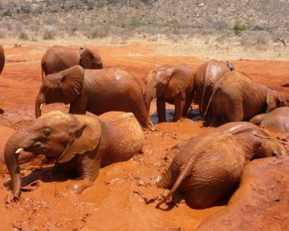 Elephants in mud