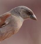 Grey Headed Sparrow