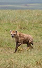 Hyena © Siggi Hosenfeld