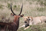 kenya animals
