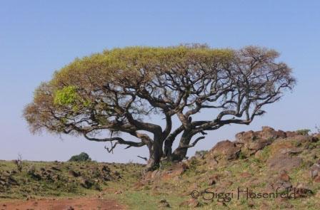 Tree in Masai Mara