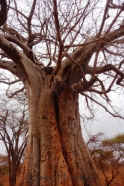 Baobab close-up