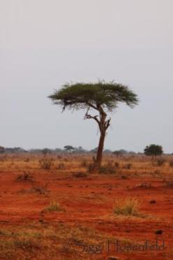 Acacia in Tsavo