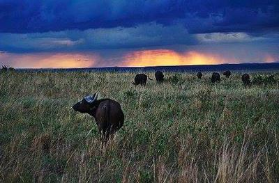 Buffalo, Masai Mara ©Johnny Chen