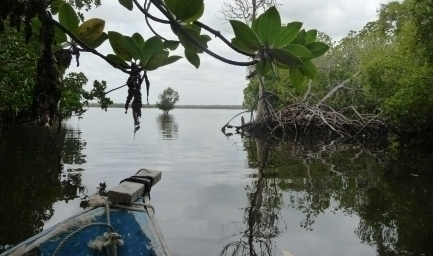 Mida Creek Mangrove Forest