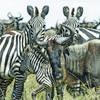Wildebeest & Zebra, Masai Mara, Kenya ©Acacia Africa