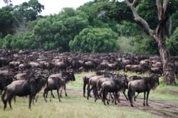 Wildebeest in Masai Mara © Siggi Hosenfeld