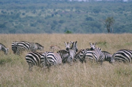 pictures of zebras