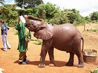 Elephant getting bottle