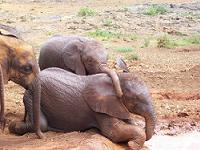 Baby Elephants taking a mud bath