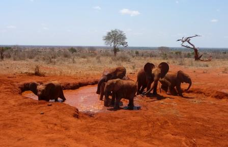 Elephants going for mud bath