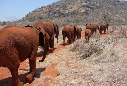 Elephants going back in bush