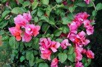 Kenya Flowers