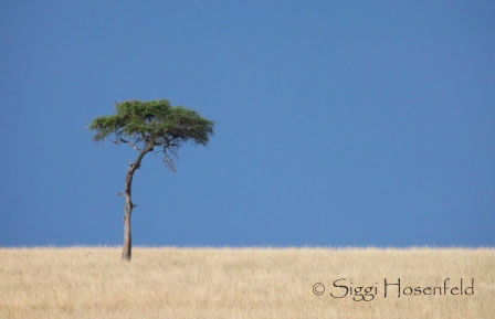 Lone Acacia in Masai Mara