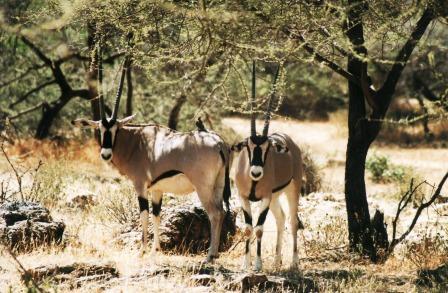 Oryx in Samburu