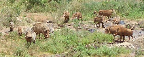 Warthogs © Siggi Hosenfeld