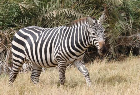 Zebra with palm trees
